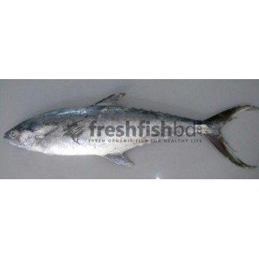 Sawara (Surma Fish)