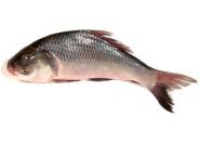 Katol Fish (3kg+)