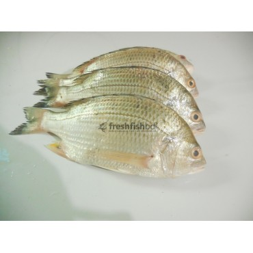 Datne Fish   (2pc-4pc/Kg)