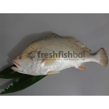 White snapper