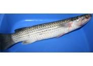 Vangan Fish(1pcs-1kg++)