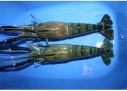 Golda Shrimp (3pcs - 6pcs)