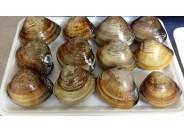 Shell (HAMAGURI)