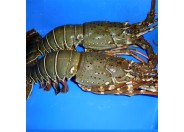 Lobster (2pcs)