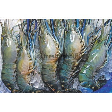 Golda Shrimp (28-32)