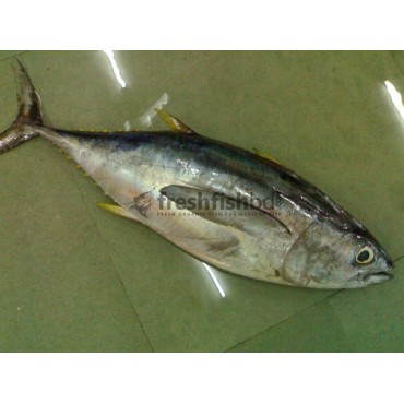 Tuna Fish (1pc/3kg+-)