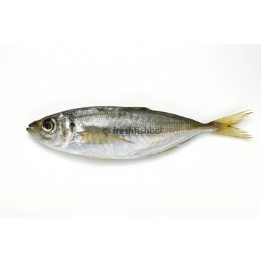 AJI (Kawa Fish)