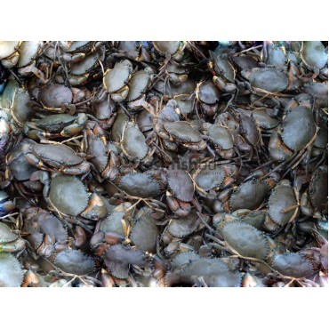 Crabs female (Live) (200g+-/ 1pc)