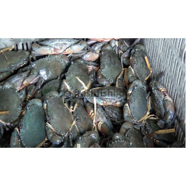 Crabs(Live) female (140g+/ 1pc)