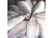 Hilsha Fish(Medium) 1pcs/1kg++