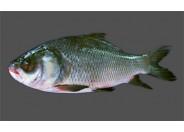 Katol Fish (2kg+)