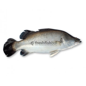 Koral or Vetki (1pc/4kg++)