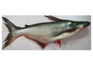 Korta Fish