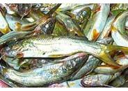 Medium Tengra Fish